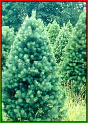 christmas tree evolution - Origin Of Christmas Tree
